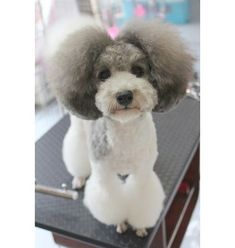 gray and white miniature poodle - Yahoo Image Search Results