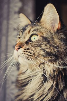 Gorgeous Maine Coon.