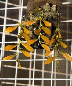 Orchids Plant Orchids species Bulbophyllum kanburiense 1 Plant / Bloom size