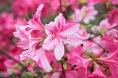 Cómo cuidar una azalea. Las azaleas son un arbusto con flores en forma de campana y de colores muy llamativos que florecen al final del invierno y principios de la primavera, específicamente en abril y mayo. Su procedencia e...