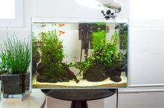 "Our small studio fishtank, using some of the wabi balls we created earlier. fuck-yeah-aquascaping: "" The 20-minute 20l aquascape — aka Aquascaping for Dummies :)) Using emersed wabi-balls, this..."