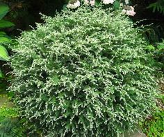 You can see how the pruning possibilities can be endless with conifers, don't let them be a thug - maybe this one might good for an interesting topiary... Tsuga canadensis ´Gentsch White´: Z3, part-deep shade, moist well drained soil