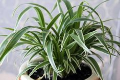 Chlorophytum laxum 'Bichetii' (Bichetii Grass, Siam Lily, False Lily Turf, Wheat Plant) - This lovely lime-green foliage plant is another of our potted garden Foliage Plants, Potted Plants, Lily Turf, Chlorophytum, Spider Plants, Geraniums, Garden Pots, House Plants, Flower Power