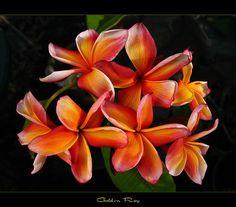 Rare Flower - The Plumeria Golden Ray