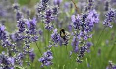 Bees most attracted to lavender and marjoram