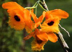 Dendrobium atavus