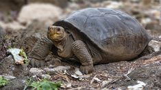 Giant tortoise thought extinct 100 years ago is living in Galapagos, Ecuador says - CNN Reptiles, Mammals, Charles Darwin, Ecuador, What Animal Are You, Animals And Pets, Cute Animals, Aquatic Birds, Kids News