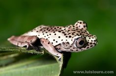 The map tree frog, Hypsiboas geographicus, is a species of frog in the Hylidae family found in Bolivia, Brazil, Colombia, Ecuador, French Guiana, Guyana,[1] Peru, Suriname, Trinidad and Tobago, and Venezuela.