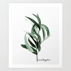 Buy Eucalyptus - Australian gum tree Art Print by galeswitzer. Worldwide shipping available at Society6.com. Just one of millions of high quality products available.
