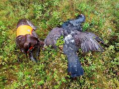 Gsp, first black grouse