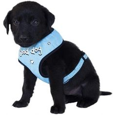 Relax Soft Sele GOOD DOG Blue S Best Dogs, Labrador Retriever, Relax, Blue, Animals, Labrador Retrievers, Animales, Animaux, Keep Calm