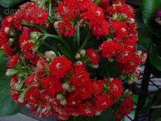 bloom for December 10, 2012: flaming katy 'Calandiva Charming Red' (Kalanchoe blossfeldiana). Photo by WillowWasp.