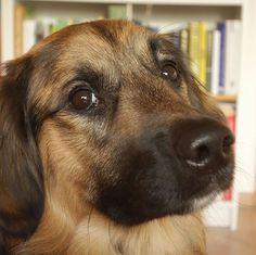 Here's looking at you k ... cookie ...  #Sunnythedog #bordercolliesofinstagram#goldenretrieversofinstagram #bordercollie #goldenretriever #goldenborder#bordercolliemix #goldenretrieverpuppy #puppy #puppiesofinstagram #goldenborderretriever#ilovemydog #goldenbordercollie #bestwoof