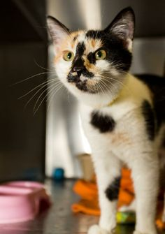 Clark-etta Gable is an adoptable Domestic Short Hair Mix in Logan, UT! See her page for more details!