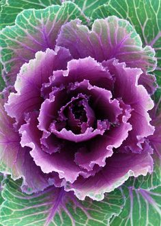 Items similar to Ornamental Cabbage-Purple & Green Cabbage-Fine Art Photography-Wall Art-Home Decor-Gallery Wrap canvas giclee on Etsy Cabbage Flowers, Purple Cabbage, Ornamental Cabbage, Ornamental Plants, Flowering Kale, Shade Flowers, All Things Purple, Green And Purple, Outdoor Gardens