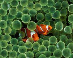 Green Anemone Polyps