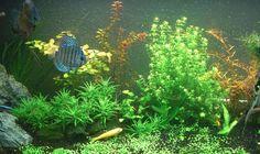 Algas en los acuarios de agua salada - http://www.depeces.com/algas-en-los-acuarios-de-agua-salada.html
