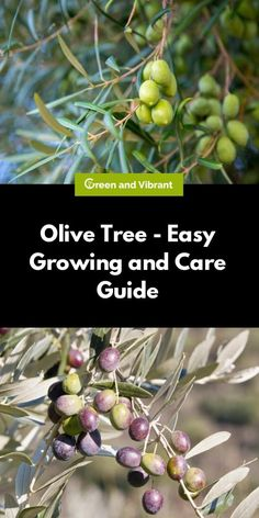 Olive Trees can grow in a variety of climates, but if you want them to bear fruit, make sure to keep outside in a moderate climate with plenty of water. Potted Olive Tree, Olive Plant, Potted Trees, Pruning Olive Trees, How To Grow Olives, Olive Tree Care, Drought Tolerant Trees, Hydrangea Seeds, Popular Tree