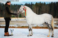 light dapple grey - Welsh Mountain Pony (section A) stallion Moondelight Neifion