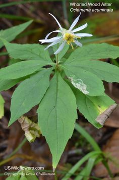 Oclemena acuminata - Whorled Wood Aster, Whorled Aster, Mountain Aster, Sharp-leaved Aster.