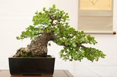 Google Image Result for http://dupuich.smugmug.com/Bonsai/Exhibits/EBBS-50th-Bonsai-Show/i-ZK8zwtb/0/S/DSC0046-S.jpg