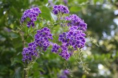 Skyflower - hardy, fast-growing, and showy, great for a centerpiece.  Duranta_Erecta_Austin_Native_Landscaping