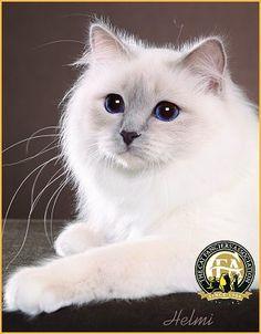 gorgeous grand champion Birman - lilac point with deep blue eyes