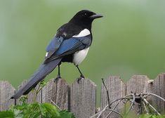 De Ekster is een algemeen voorkomende vogel, die zich goed heeft aangepast aan de menselijke omgeving. Het is een echte alleseter, ook kleine vogeltjes en eieren gaan eraan. Niet voor niets moeten zangvogeltjes met al hun felheid alles uit de kast halen om eksters van hun nest weg te houden.