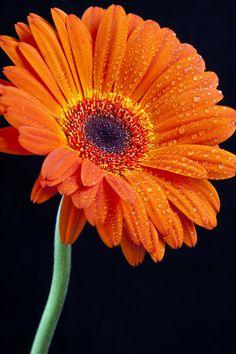 Orange Gerbera by ziw-monster on DeviantArt All Flowers, Exotic Flowers, Orange Flowers, Amazing Flowers, Beautiful Roses, Pretty Flowers, Colorful Flowers, Flower Images, Flower Photos
