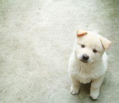 Ideal Dog, Jindo