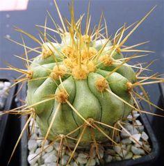 Copiapoa haseltoniana sc418