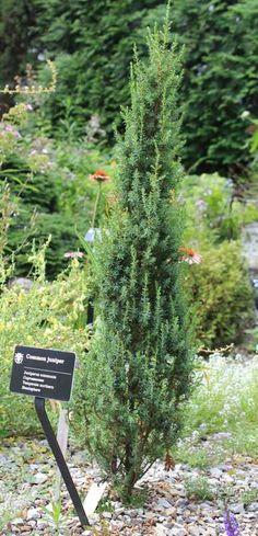 Juniperus communis Compressa-3 ft tall x 2 ft wide  full sun