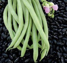 """Bean - """"Black Valentine"""" - DOUBLE DUTY: pick fresh and use as a snap bean or allow to dry for use as a soup bean.  Bush Habit; 50-55 days; cool-temp-tolerant"""