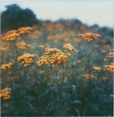 Foggy Days - Yellow Flowers in a Foggy Seaside Field Polaroid Photo Print