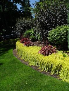 Creeping Jenny - in a raised bed along back of pool