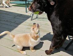 The Daiky Pouncey the Labrador Retriever