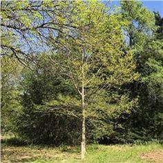 Apin Oak Quercus Muehlenbergii