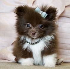 Tiny Teacup Pomeranian-If I owned something this cute, I would have to quit my job so I could stay home and gaze upon the cuteness all day!!