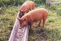 What and how much to feed pigs