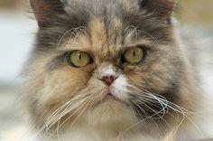 Face de chat