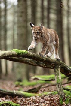 Lynx by Jiří Míchal on 500px