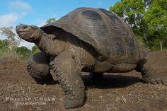 galapagos | Galapagos tortoise, Santa Cruz Island species, highlands of Santa Cruz ...