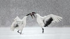 Red-crowned cranes dance in Hokkaido, Japan (© Paul McKenzie/Minden Pictures)