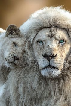 A beautiful White male Lion and cub 😍. 📷 Photo by Jean Claude. The majestic White Lion are not albino but have a rare colour… Beautiful Cats, Animals Beautiful, Animals And Pets, Cute Animals, Wild Animals, Baby Animals, Big Cat Family, Lion Family, Lion Love