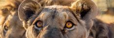 LIONSROCK is a big cat sanctuary established by FOUR PAWS, an animal welfare organization dedicated to rescuing animals held in captivity. Animal Welfare, Impala, Big Cats, Fun Activities, Animal Rescue, Organization, Animals, Short I Activities, Getting Organized