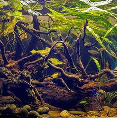 The Aquarist's comprehensive guide on aquascaping styles practiced for the advanced planted aquarium. Includes showcase of fellow aquascapers' works on Iwagumi, Natural style, Dutch style, Natural Biotope and Hardscape Diorama. Nature Aquarium, Planted Aquarium, Aquascaping, Diorama, Plants, Painting, Ideas, Art, Art Background