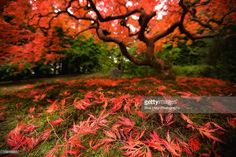Maple tree in fall, Poland.