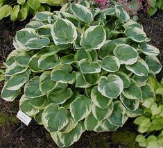 Hosta Moon River has heart shaped blue green leaves with creamy margins. Love Garden, Shade Garden, Hosta Plants, Hosta Gardens, Moon River, Replant, Planting Vegetables, Garden Landscaping, Landscaping Ideas