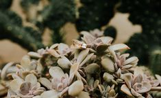 Chicago Conservatory Engagement Session - Garfield Park Conservatory (@earthbelowphoto) #chicagoengagement #succulents #engagementring #garfieldparkconservatory #conservatoryengagement