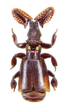 UntiPaussus (Cochliopaussus) excavatus